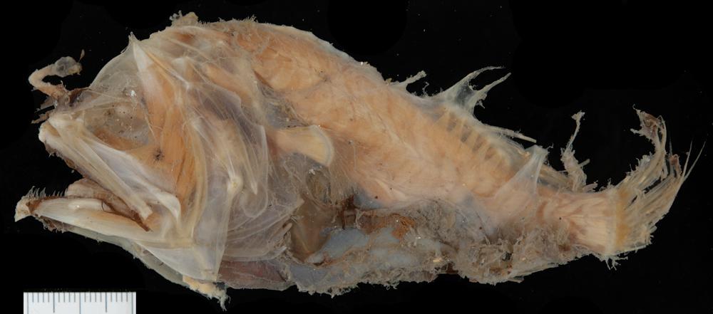 Image of <i>Microlophichthys microlophus</i> (Regan 1925)