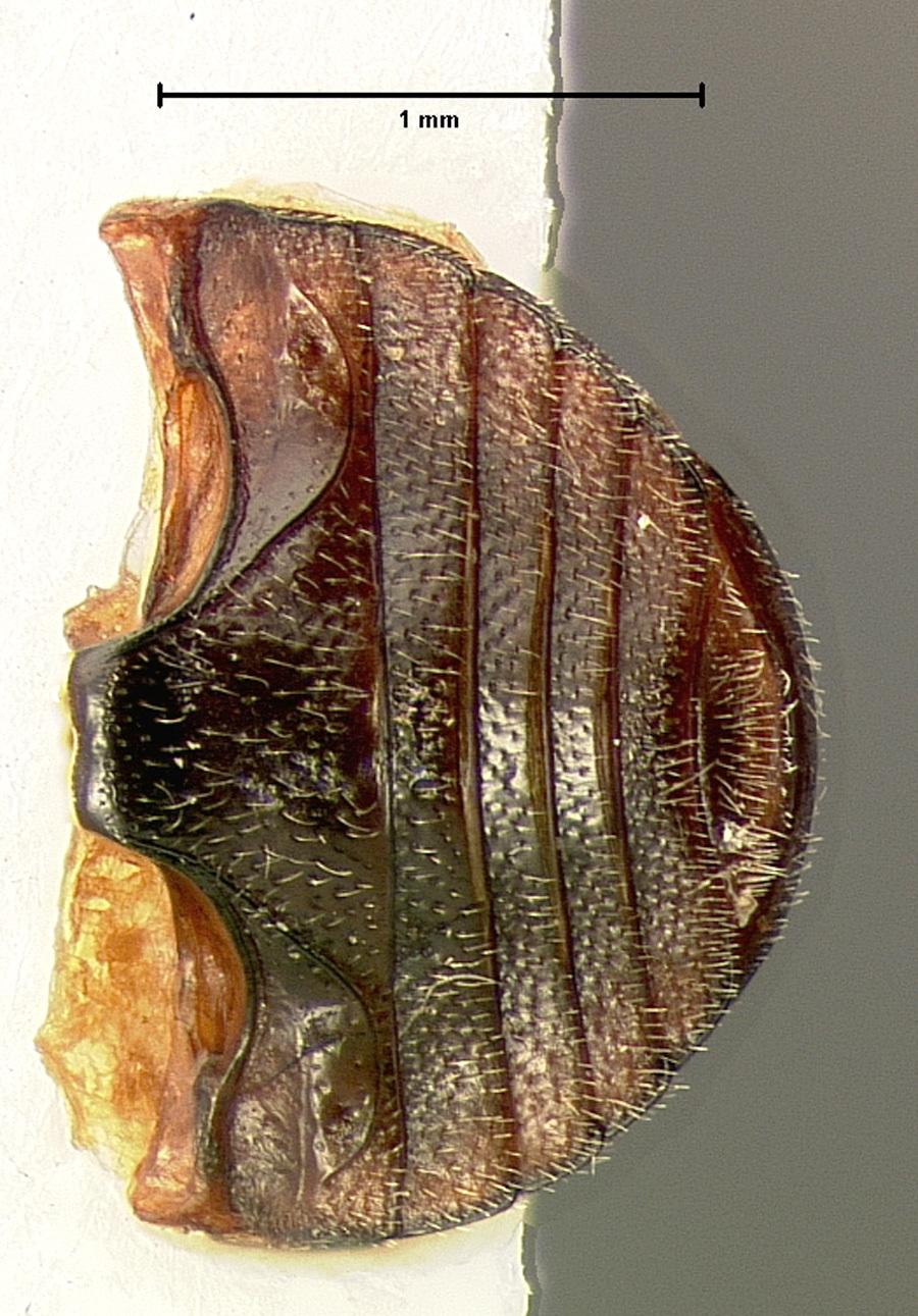 Image of <i>Hyperaspis taedata</i> LeConte 1880
