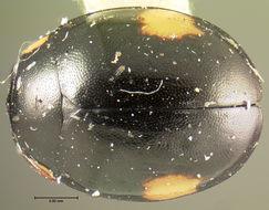 Image of <i>Hyperaspis osculans</i> Le Conte 1880