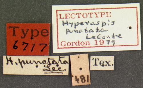 Image of <i>Hyperaspis punctata</i> Le Conte 1880