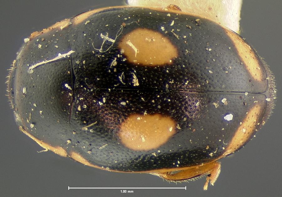 Image of <i>Hyperaspis paludicola</i> Schwarz 1878