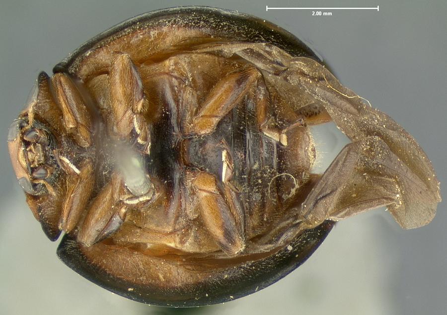 Image of <i>Exochomus texanus</i> LeConte 1858