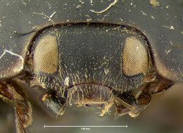 Image of <i>Exochomus pleuralis</i> LeConte 1859