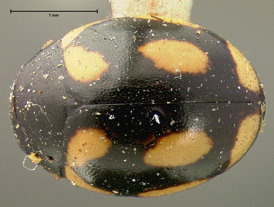 Image of <i>Hyperaspis disconotata</i> Mulsant 1850