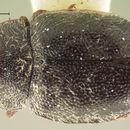 Image of <i>Cephaloscymnus zimmermanni</i> Crotch 1873