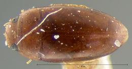 Image of Notomicrus nanulus