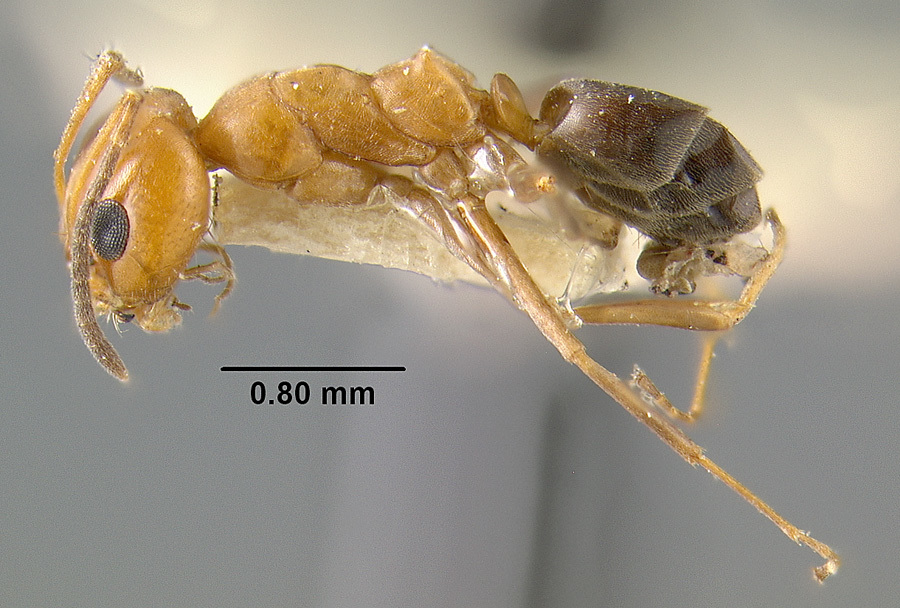 Image of Bi-colored Pyramid Ant