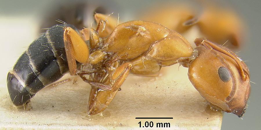 Image of <i>Camponotus decipiens</i> Emery 1893