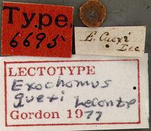 Image of <i>Exochomus guexi</i> LeConte 1852