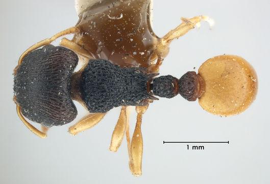Image of <i>Tetramorium laticephalum</i> Bolton 1977