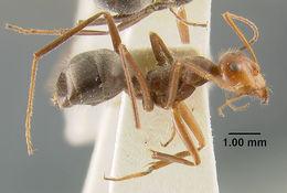 Image of <i>Myrmecocystus mendax</i> Wheeler 1908