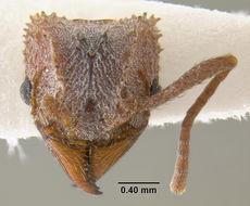 Image of <i>Trachymyrmex arizonensis</i> (Wheeler 1907)