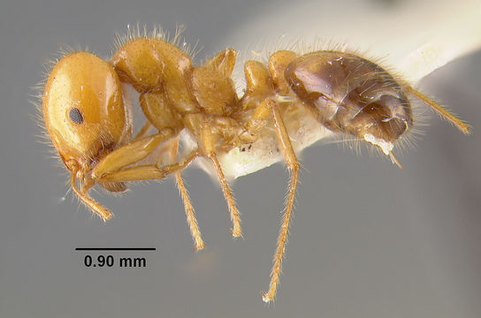 Image of Southern Fire Ant