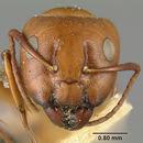 Image of <i>Camponotus sayi</i> Emery 1893