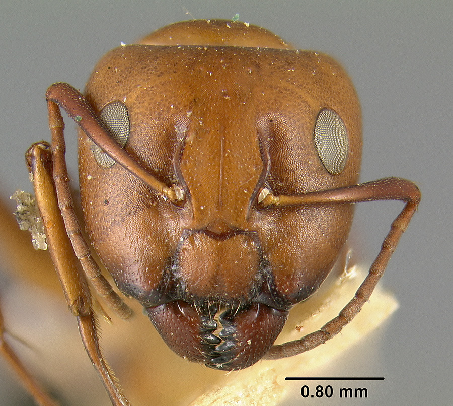 Image of <i>Camponotus sayi</i> Emery 1893