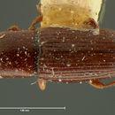 Image of <i>Cerylon angustulum</i> LeConte 1863