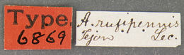 Image of <i>Attagenus rufipennis</i> Le Conte 1859