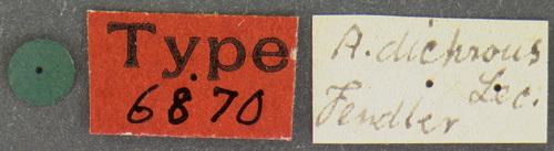 Image of <i>Attagenus dichrous</i> Roth 1851
