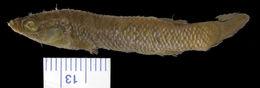 269.18814 haplochilus floripinnis st jpg.260x190