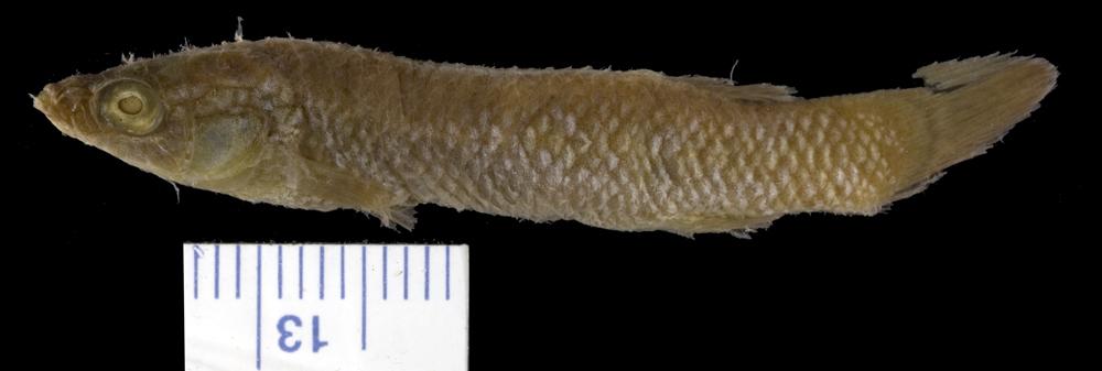 Image of <i>Haplochilus floripinnis</i>
