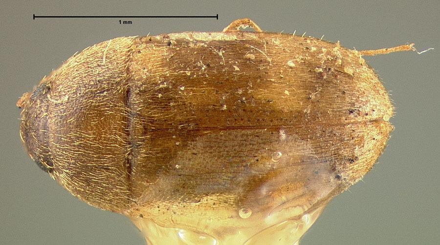 Image of Stored Grain Fungus Beetle