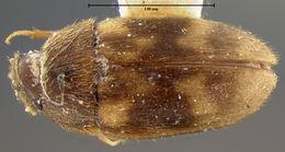 Image of <i>Litargus infulatus</i> LeConte 1856