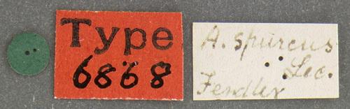 Image of <i>Attagenus spurcus</i> LeConte 1854
