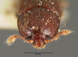 Image of <i>Philothermus puberulus</i> Schwarz 1878