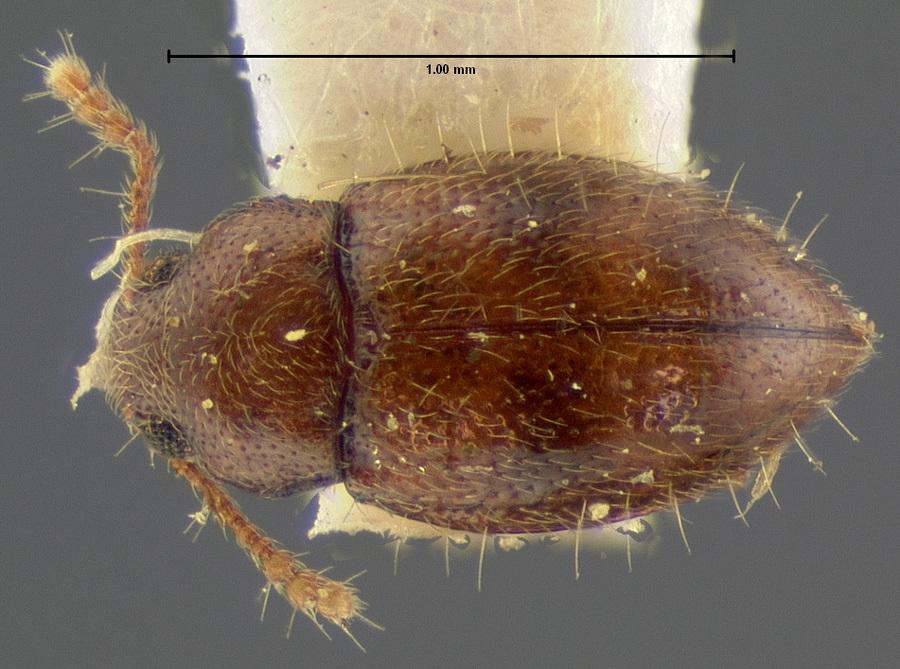 Image of <i>Tomarus hirtellus</i> Schwarz