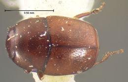 Image of <i>Acritus salinus</i> LeConte 1878
