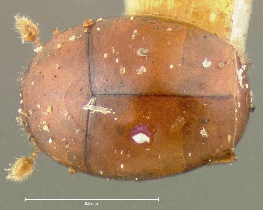 Image of <i>Acritus politus</i> LeConte 1853