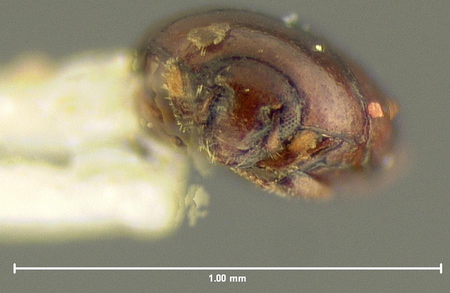 Image of <i>Acritus basalis</i> LeConte 1851