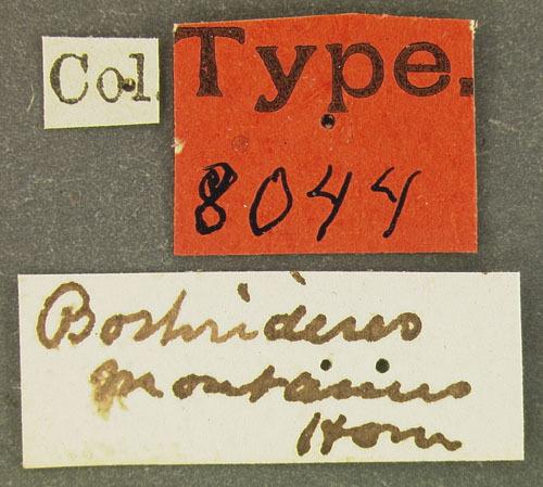 Image of <i>Bothrideres montanus</i> Horn 1878