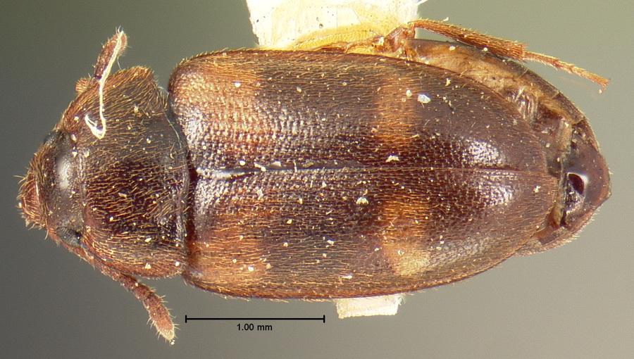 Image of <i>Mycetophagus californicus</i> Horn 1878