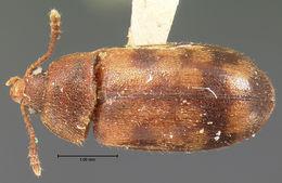 Image of <i>Mycetophagus confusus</i> Horn 1878