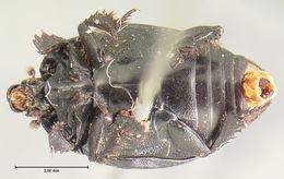Image of <i><i>Margarinotus</i></i> (Margarinotus) <i>guttifer</i> Horn 1862