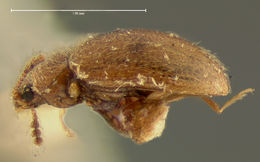 Image of <i>Tomarus bisignatus</i> Horn 1895