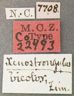 Image of <i>Cychramus adustus</i> ssp. <i>bicolor</i> Horn 1879