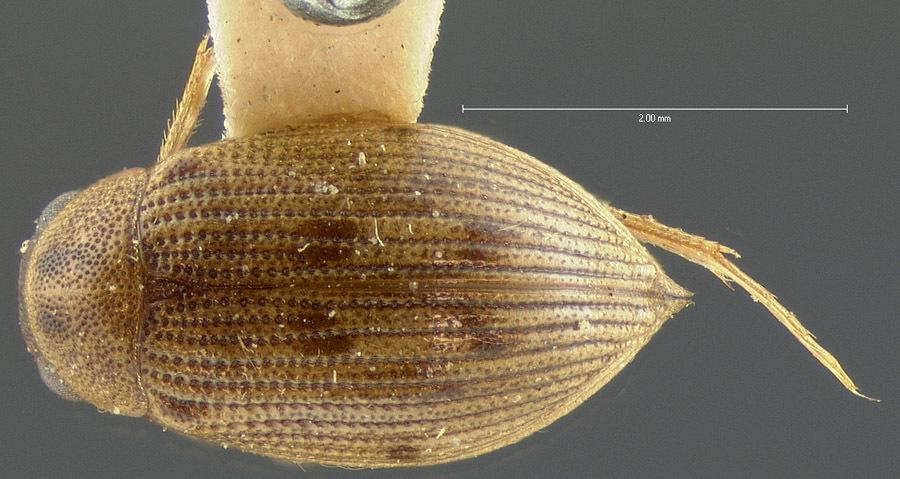 Image of <i><i>Berosus</i></i> (Berosus) <i>aculeatus</i> Le Conte & J. L. 1855