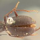 Image of <i>Lyrosoma opacum</i> Mannerheim 1853