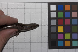 Image of <i>Celestus costatus neiba</i> Schwartz 1964