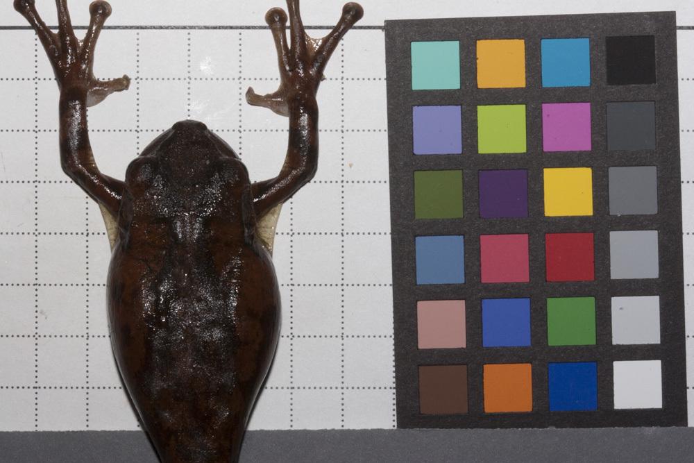 Image of Osteopilus Fitzinger 1843
