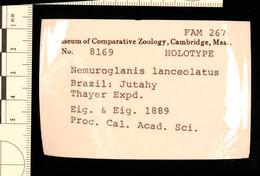 Image of <i>Phenacostethus posthon</i> Roberts 1971