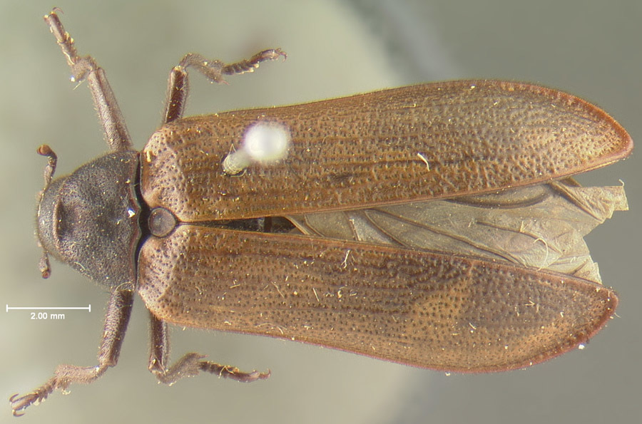 Image of <i>Sandalus porosus</i> Le Conte 1868