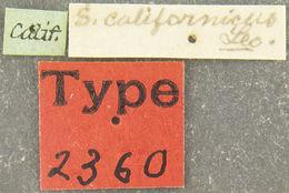 Image of <i>Sandalus californicus</i> Le Conte 1861