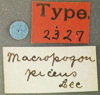 Image of <i>Macropogon piceus</i> Le Conte 1861