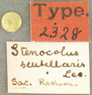 Image of <i>Stenocolus scutellaris</i> Le Conte 1853