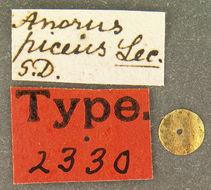 Image of <i>Anorus piceus</i> Le Conte 1859