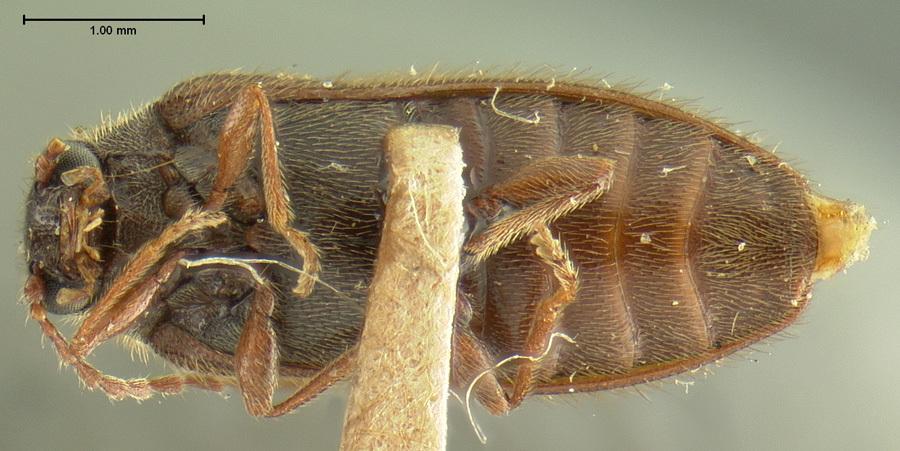 Image of <i>Eurypogon californicus</i> Horn 1880