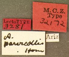 Image of <i>Anorus parvicollis</i> Horn 1894